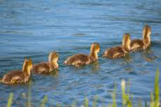 Row of five ducklings swimming away from the camera