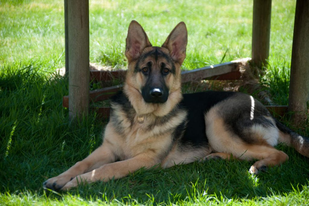 Gunner - a German Shepherd Dog with large pointy ears, lying on the grass in the shade on a sunny day.